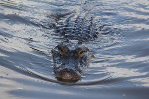 An alligator comes to investigate (1)