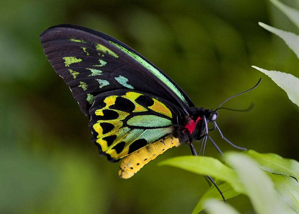 Tamborine Mountain, Birdwing butterfly, Queensland